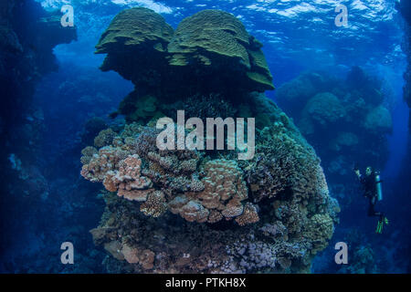 Female scuba diver photographs a majestic coral pinnacle at dusk in the Fury Shoas area of the Red Sea - Stock Image