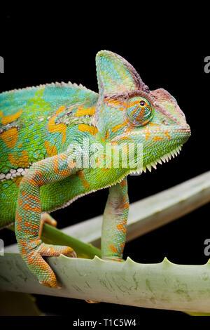 Yemen or Veiled Chameleon sitting on a cactus leaf - Stock Image