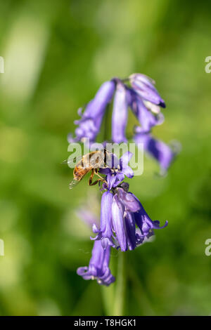 Bee minic collecting nectar pollen from bluebell wild flower in woodland countryside - Stock Image
