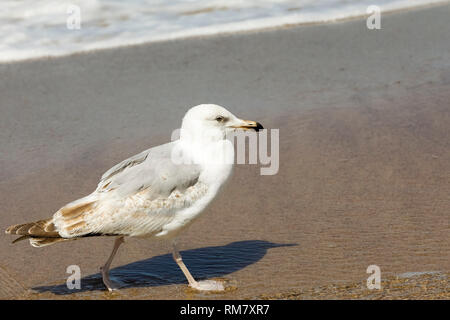 The sandy beaches of the Baltic Sea are often visited by seagulls. This view was observed in Kolobrzeg, Poland. - Stock Image