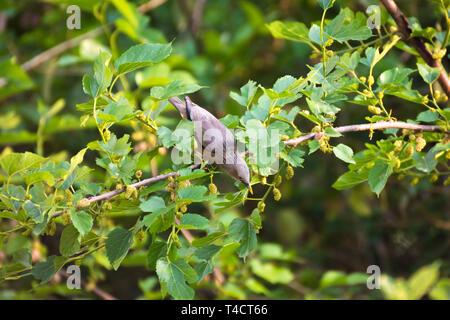 Gray beautiful bird - Stock Image