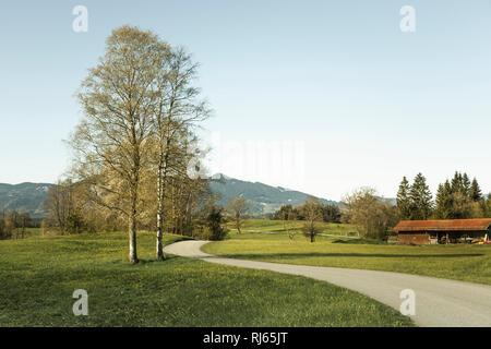 Birke, Betula, an einem Weg in den Bayrischen Alpen, - Stock Image