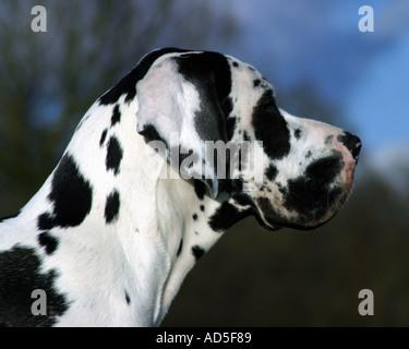 Harlequin great dane profile - Stock Image