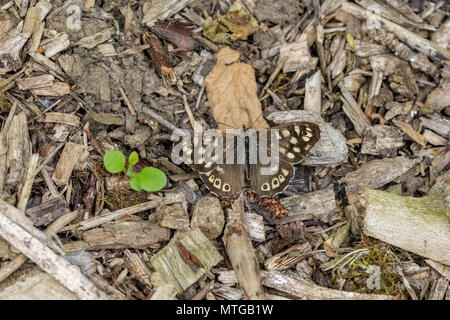 Speckled wood butterfly (Pararge aegeria) resting and camouflaged on bark wood chip - Stock Image