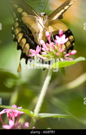Butterfly on a pink flower A - Stock Image