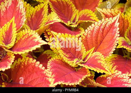 Close-up of multi-coloured leaves of Coleus 'Defiance', Painted Nettle. Solenostemon scutellarioides 'Defiance' - Stock Image