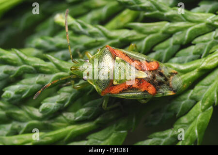 Juniper Shieldbug (Cyphostethus tristriatus) resting on Lawson's Cypress tree. Tipperary, Ireland - Stock Image