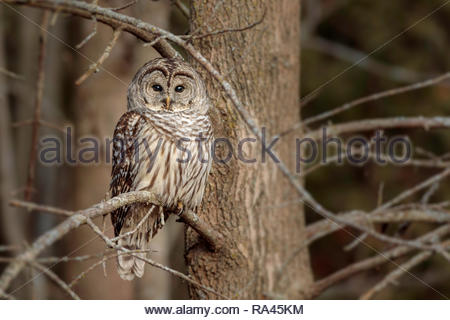 Barred owl Strix varia hoot owl looking at you - Stock Image