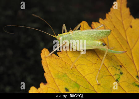 Oak Bush-cricket female (Meconema thalassinum) perched on sycamore leaf. Cahir, Tipperary, Ireland - Stock Image