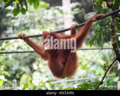 Bornean Orangutan (Pongo pygmaeus) eating a banana while hanging on a cable at the Orangutan Rehabilitation Centre, - Stock Image
