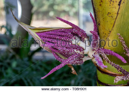 The multi-branched inflorescence of the Nikau Palm (Rhopalostylis sapida) - Stock Image