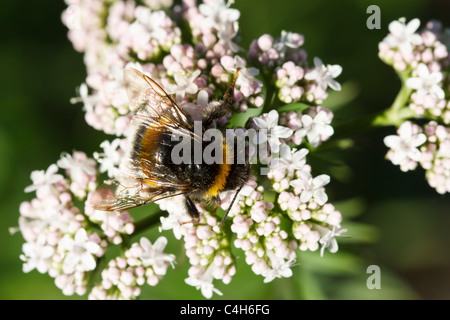 Selective focus image of a blooming Valeriana dioica with a bumblebee. - Stock Image