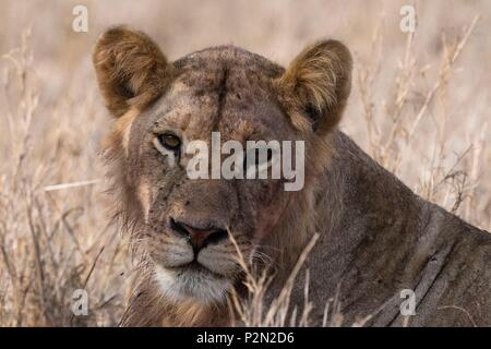 Kenya, Tsavo East national park, Young lion (Panthera leo) - Stock Image