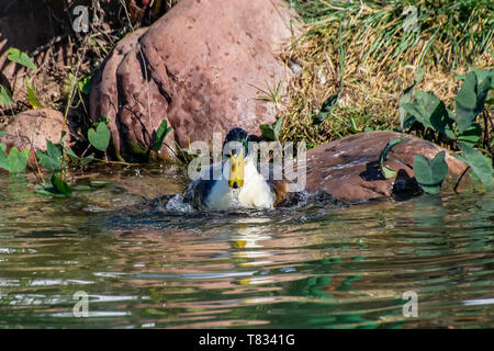Duck splashing, preening and cleaning feather plumage in a lake - Stock Image