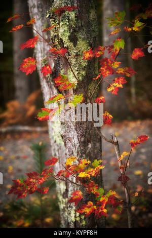 Maple leaves beginning to show their autumn color in Acadia National Park in Maine - Stock Image