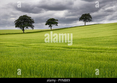 Rolling field of green wheat crop with three trees on Highway B6460 near Duns Scottish Borders Scotland UK - Stock Image
