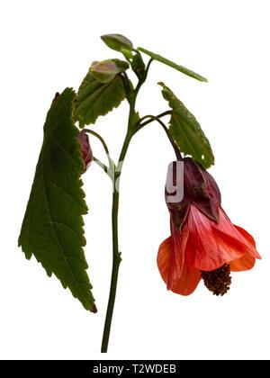 Orange bell flower of the half hardy, lax growing shrub, Abutilon 'Patrick Synge', isolated on white - Stock Image