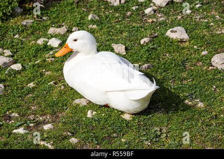 Mallard Anas platyrhynchos standing on the shore, male wild duck - Stock Image