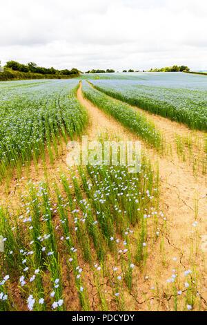 Linseed crop, Linseed, Linseed farm crop, Linseed field, Linseed plants, Linseed flower, Linseed flowers, Linseed flowering, flaxseed, flax seed, UK - Stock Image