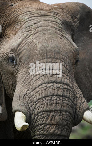 African Bull Elephant - Stock Image