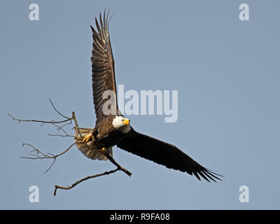 Bald Eagle in Flight Carrying Sticks for Nest - Stock Image