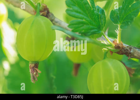 Gooseberry berry close-up in nature in the garden - Stock Image