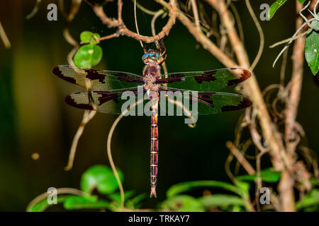 Prince Baskettail dragonfly perched on the tree. These are not easy to get photographed. They like to be in the forest and most of the time they are a - Stock Image
