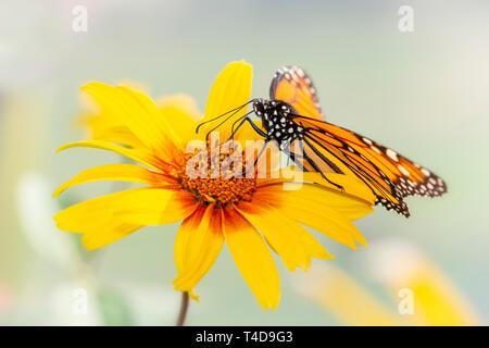 Monarch butterfly Danaus Plexippus feeding on a yellow flower - Stock Image