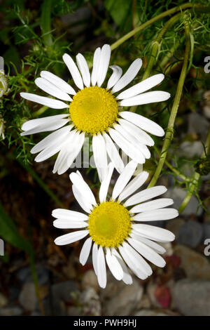Tripleurospermum maritimum (sea mayweed) is a flowering plant commonly found in coastal areas of Northern Europe - Stock Image