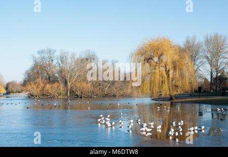 Regents Park in winter with Black-Headed Gulls, (Chroicocephalus ridibundus), on frozen lake, London, United Kingdom - Stock Image