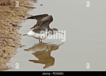 Green Sandpiper (Tringa ochropus) adult at waters edge, wing stretching  Cley Marshes Nature Reserve, Cley-next-the-Sea; Norfolk, UK          August - Stock Image