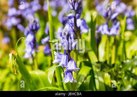 Bluebells (Hyacinthoides non-scripta), One Tree Hill, Honor Oak Park, London, England, United Kingdom - Stock Image