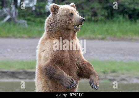 Alaska brown bear in grassland at Lake Clark National Park, Alaska - Stock Image