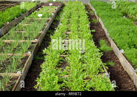 long lines of raised vegetable beds with wooden sides in a plastic green house, polytunnel, growing in the beds are different varieties of green veget - Stock Image