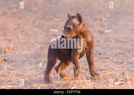 Africa, South African Republic, Mala Mala game reserve, Spotted hyena (Crocuta crocuta), young, - Stock Image