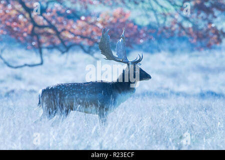 Fallow Deer, Dama dama, buck, stag, standing in light white grass with autumn leaves and tree behind,  antlers - Stock Image