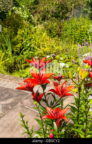 Lilies in residential back garden, England - Stock Image