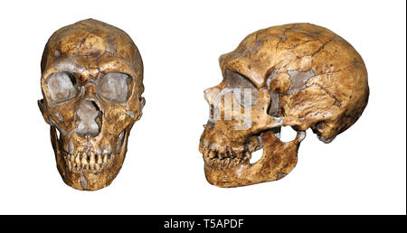 Homo neanderthalensis Front and Side View Comparison - Stock Image