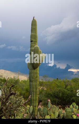 A young Saguaro (Carnegiea gigantea) in the Sonoran Desert, with few arms and nest holes. Tucson - Stock Image