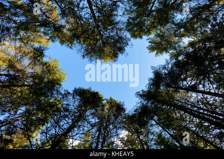 Converging verticals of evergreen trees produce a heart-shaped opening against a blue sky. - Stock Image