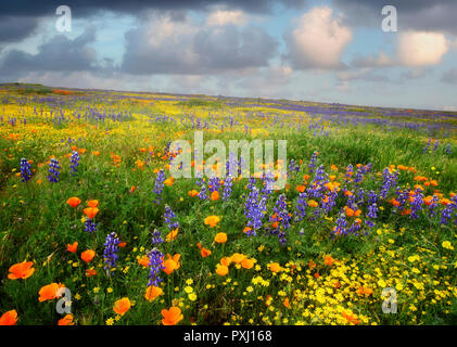 Mostly lupine and poppies on slope in Carrizo Plain National Monument, California - Stock Image