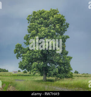 Pignut Hickory Tree in Field - Stock Image