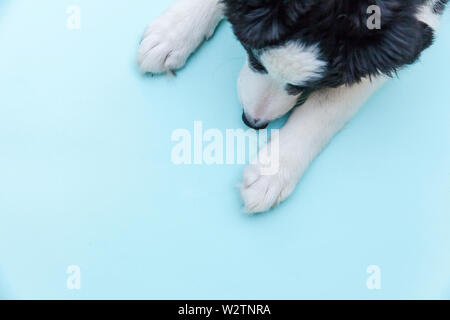 Funny studio portrait of cute smilling puppy dog border collie isolated on blue background. New lovely member of family little dog gazing and waiting - Stock Image