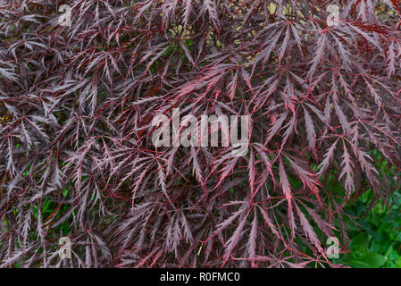 Striking purple leaves of what is believed to be a type of Japanese Maple  / Acer palmatum. An ornamental garden plant in the UK - Stock Image