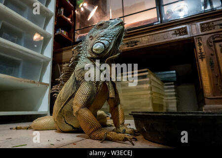 Karmei Yosef, Israel. 15th July, 2019. A huge iguana freely roams the office of Israeli snake handler, breeder and catcher, Rafael Yifrach, in his home in Karmei Yosef. Yifrach has been intrigued by snakes and other reptiles since he was seven years old, he's been bitten by venomous snakes 18 times and currently grows and breeds some 300 non venomous snakes. World Snake Day is celebrated 16th July contributing to the cause of conservation of a sometimes dangerous but mostly misrepresented reptile. Credit: Nir Alon/Alamy Live News. - Stock Image