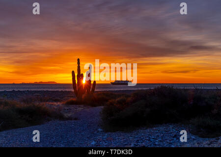 The sun peaks through a cardon cactus at sunrise at San Esteban Island with the ship National Geographic Venture at anchor in the Sea of Cortez. - Stock Image