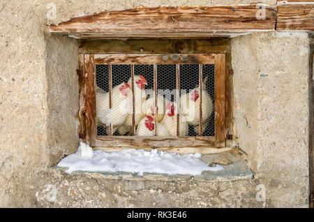 Huehner schauen durch ein vergittertes Fenster, Fextal, Engadin, Schweiz | Chicken looking through window with bars, Fextal, Engadin, Switzerland - Stock Image