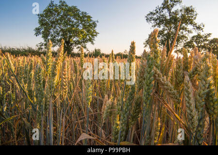 Late evening sun on an organic corn, wheat or barley field ripening in the summer during the UK 2018 heatwave with mature trees in the golden sunlight - Stock Image