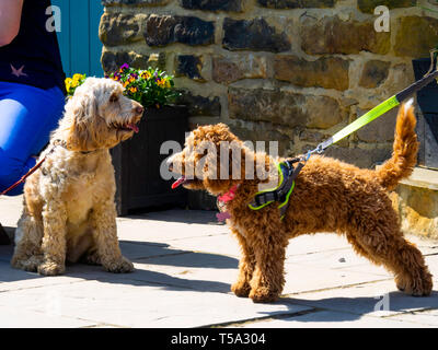 Two mixed breed designer pet dogs meeting at an outdoor café in North Yorkshire - Stock Image