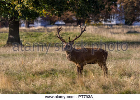 Bushy Park, Hampton, London. 7th October 2018. A mature red deer stag poses for the camera in the early morning sunshine. Credit: Images by Russell/Alamy Live News Credit: Images by Russell/Alamy Live News - Stock Image